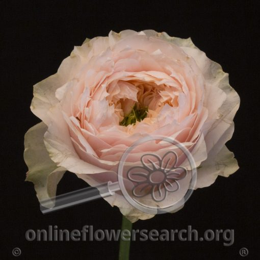 Rose Bloomsbury