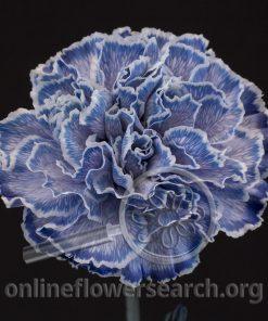 Carnation Anko (Magical Series)