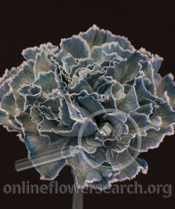 Carnation Aqua (Liquid Series)