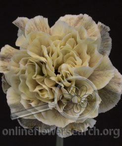 Carnation Asuna (Mellow Series)