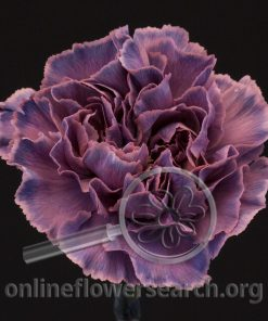 Carnation Blair Dark (Unique Series)