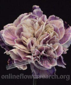 Carnation Broli (Unique Series)