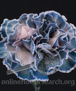 Carnation Erio (Magical Series)