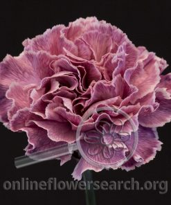Carnation Faye Dark (Mellow Series)