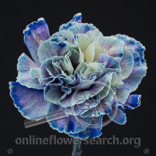 Carnation Nymp (Liquid Series)