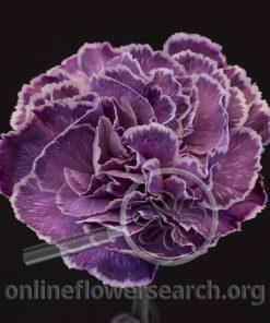 Carnation Toph (Unique Series)