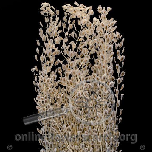 Dried Bleached Lepidium