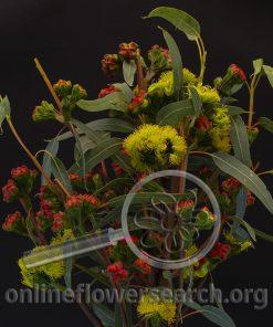 Eucalypthus Helmet Pods Blooming