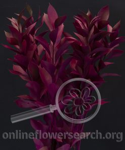 Ruscus - Tinted Hot Pink