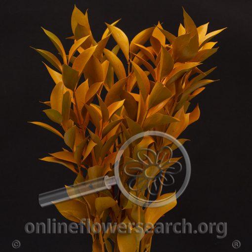 Ruscus - Tinted Orange