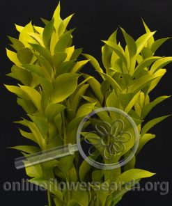 Ruscus - Tinted Yellow