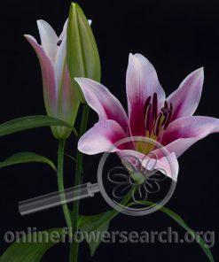 Lily Oriental Dalian