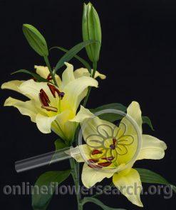 Lily Oriental Eldoret