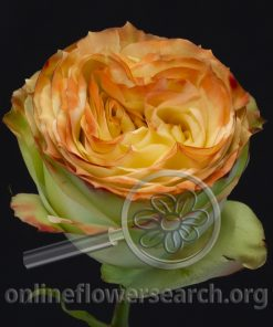 Rose Artistry