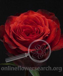 Rose Bromo