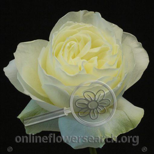 Rose Coldplay