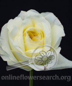 Rose Ella (Auswagsy)
