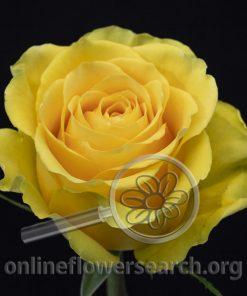 Rose Gisele
