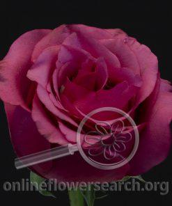 Rose Melisa