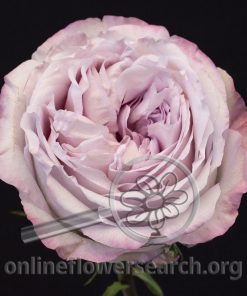 Rose Patchouli