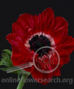 Anemones coronaria 'Fullstar Glory Red'