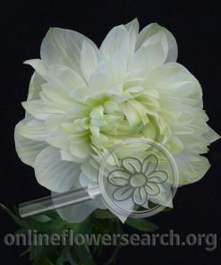 Anemones coronaria 'Fullstar Pure White'