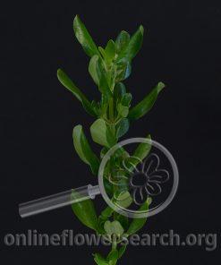 Brillantina Foliage (Mirror Leaf or Mirror Bush)