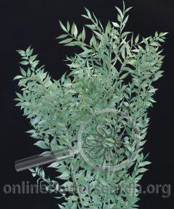 Dried Bleached Italian Ruscus Emerald