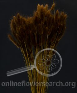 Dried Bleached Lagurus Brown