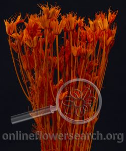 Dried Bleached Nigella Orange