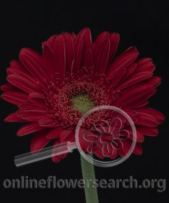 Gerbera Highlight (aka Red Highlight)