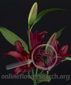 Lily Oriental Firebolt