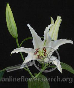 Lily Oriental Pathos