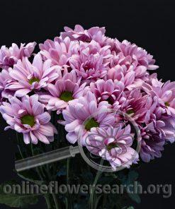 Pompon Blossom (aka Blossom Dark)