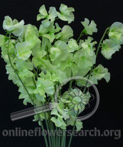 Sweet Pea Tinted Green Japanese