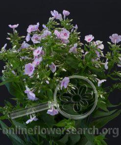 Phlox Light Pink