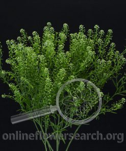 Lepidium Green Dragon