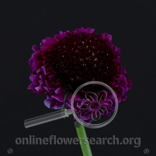 Scabiosa Focal Scoop Red Velvet