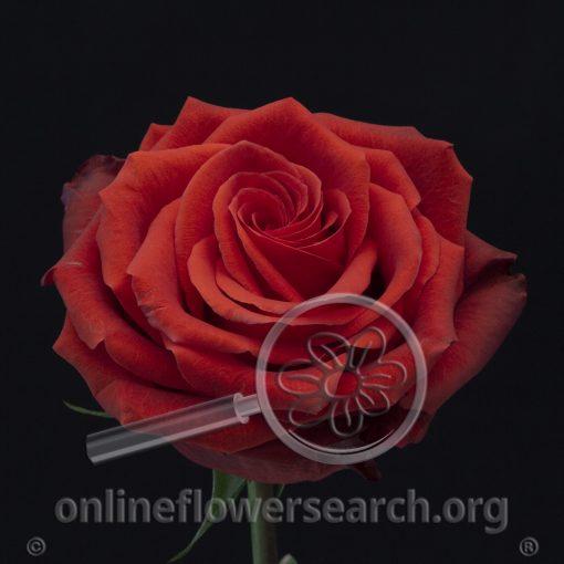 Rose Brickhouse