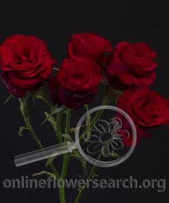 Spray Rose Shooting Star