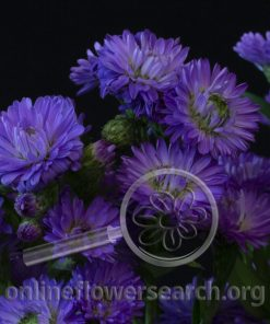 Aster Astee Purple/Blue