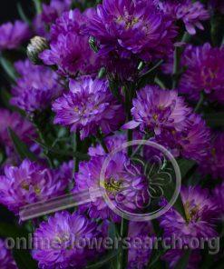 Aster Astee Pink/Purple