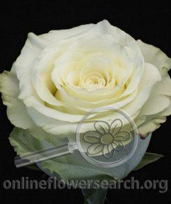 Rose Vino Blanco