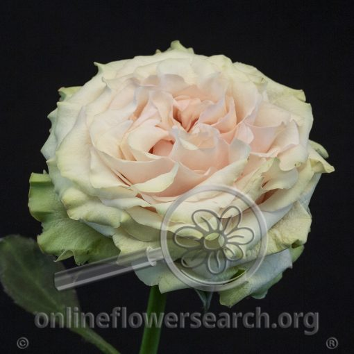 Rose Country Secret