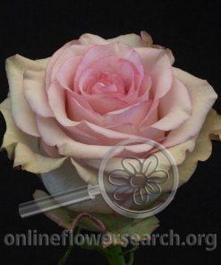 Rose Steffi
