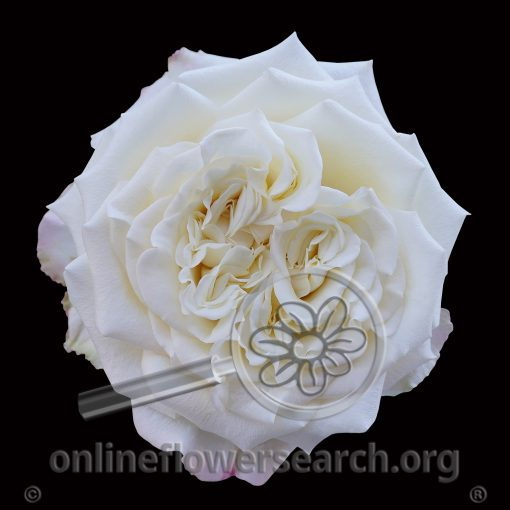 Rose White Ashley